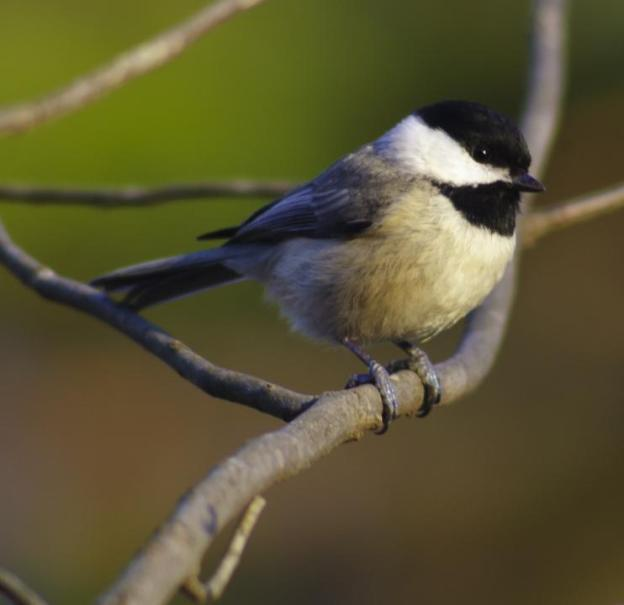 Carolina_Chickadee_9004